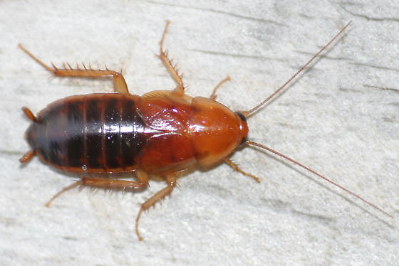 Brownbanded Cockroaches